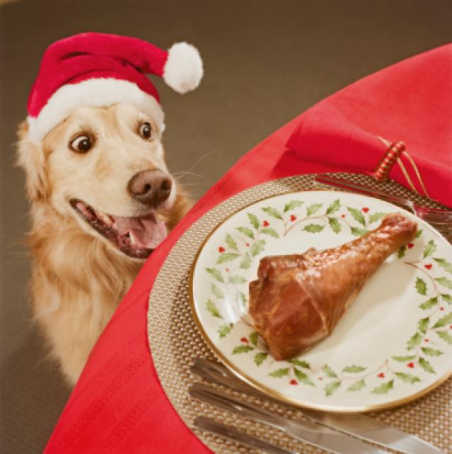 Golden retriever looking at chicken leg on dining table, close-up, high angle view